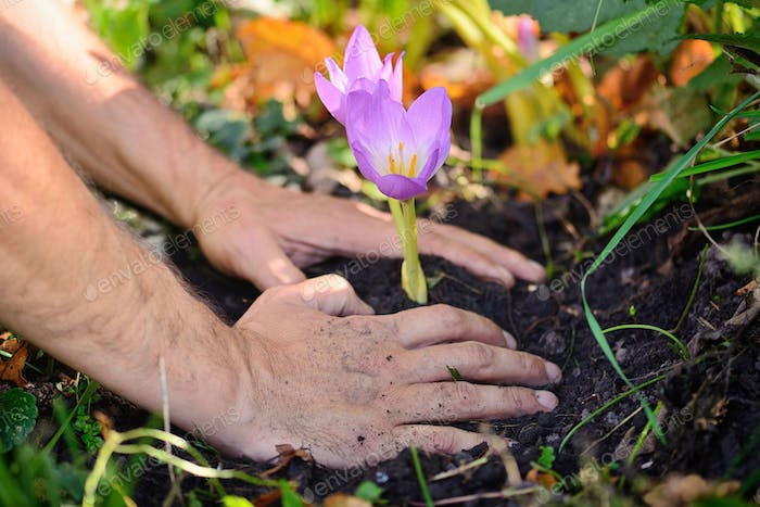 Gardeners hands planting flowers (Colchicum autumnale) in a gard