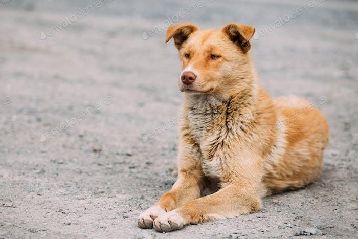 Red Medium Race Mixte Race Homeless Dog Sit Outdoor On Street