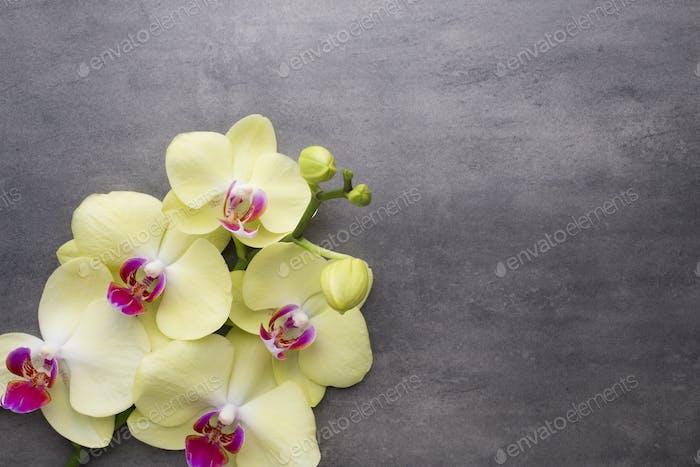 Gelbe Orchidee auf dem grauen Hintergrund.