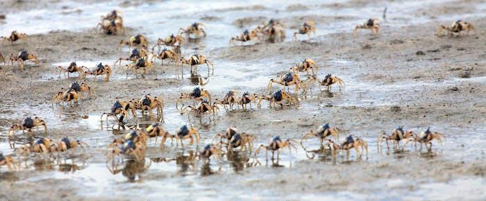 Crab swarm (1)