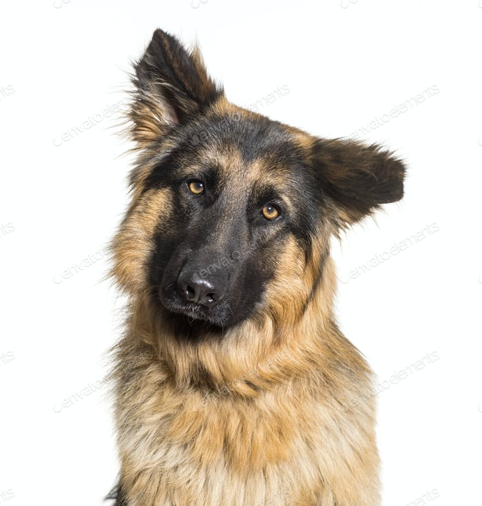 Close-up of German Shepherd dog, cut out