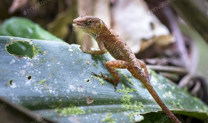 Cuban Brown Anole Lizard on a Leaf in Belize