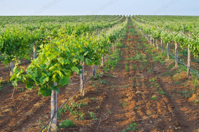 Vineyard rows nature