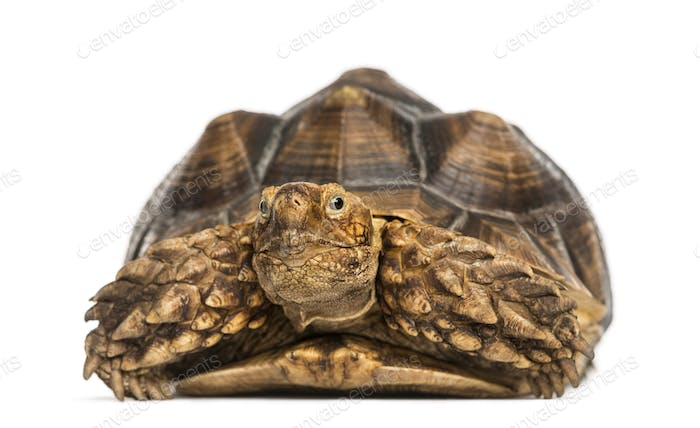 Front view of an African Spurred Tortoise, Geochelone sulcata, isolated on white