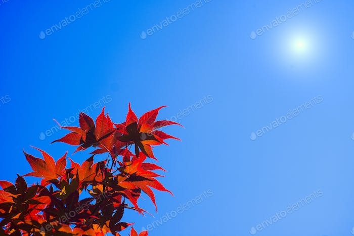 Maple tree red leaves under hot Summer sun.