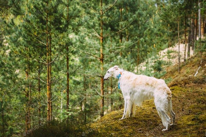 Weißer russischer Hund, Borzoi, Jagdhund ist am Rande der für