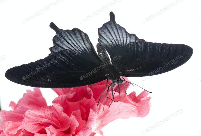 Papilio rumanzovia (male) butterfly