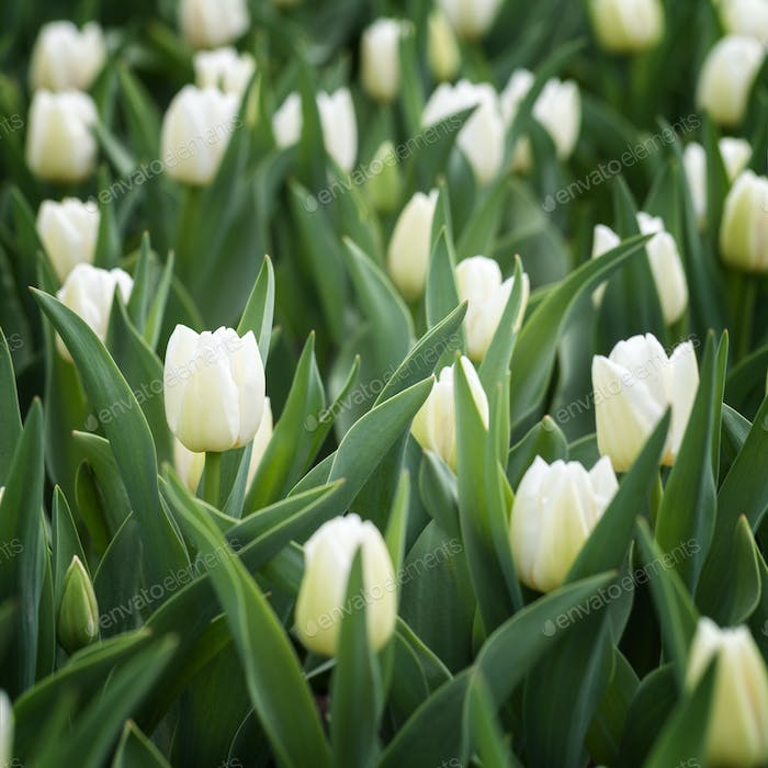 Field of beautiful blooming white tulips