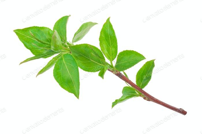 Junger grüner Spross von Apfelbaum mit Blatt