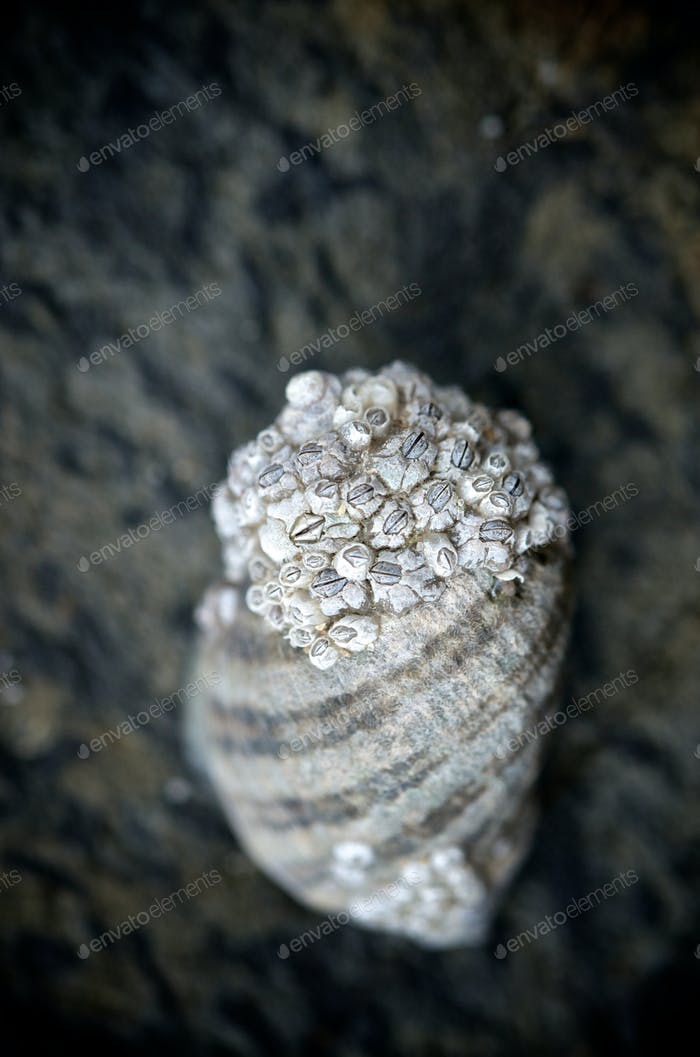 Macro of a seashell with barnacles