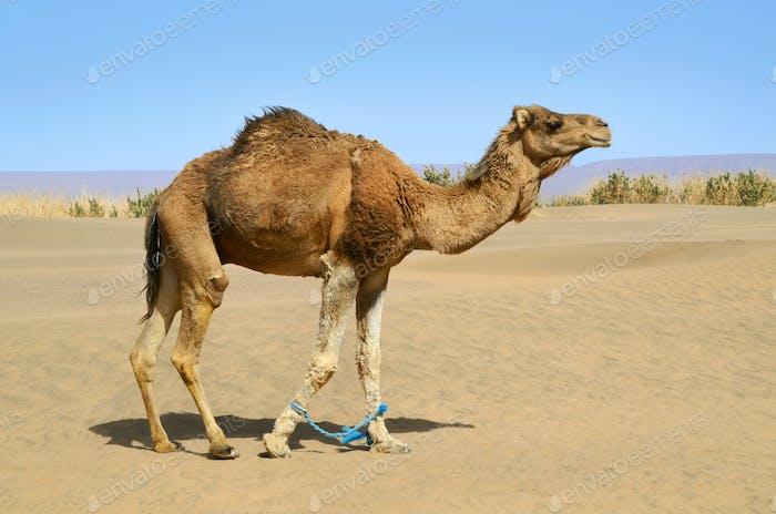Hobbled Kamel