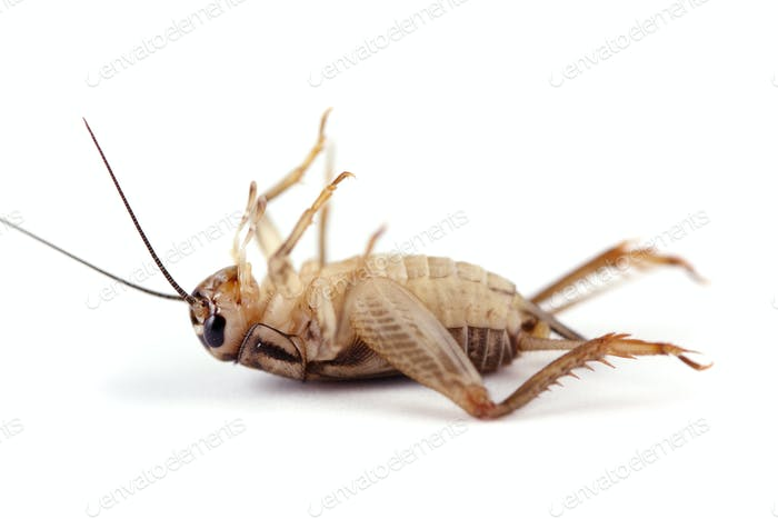 Dead Cricket