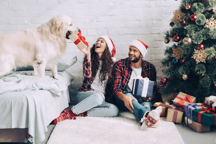 laughing girl in santa hat putting present box in mouth of golden retriever while her boyfriend