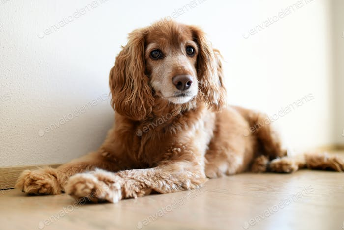 Cute blond cocker spaniel resting on the floor