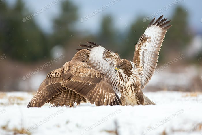 Two common buzzards in battle on snow in wintertime
