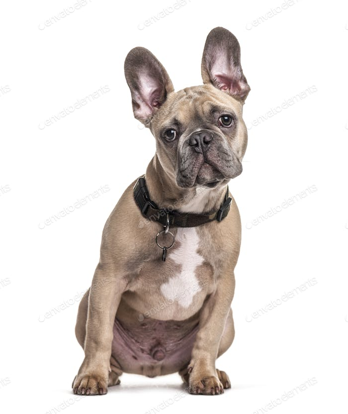 Sitting French bulldog with collar, isolated on white