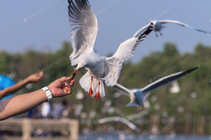 Seagulls flying to catch food