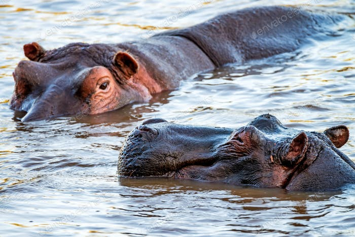 Close hippo or Hippopotamus amphibius in water