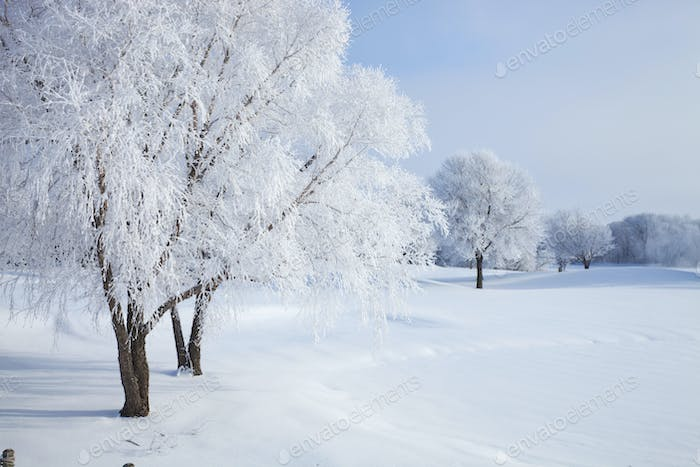 Trees in winter covered with hoar frost on a bright morning