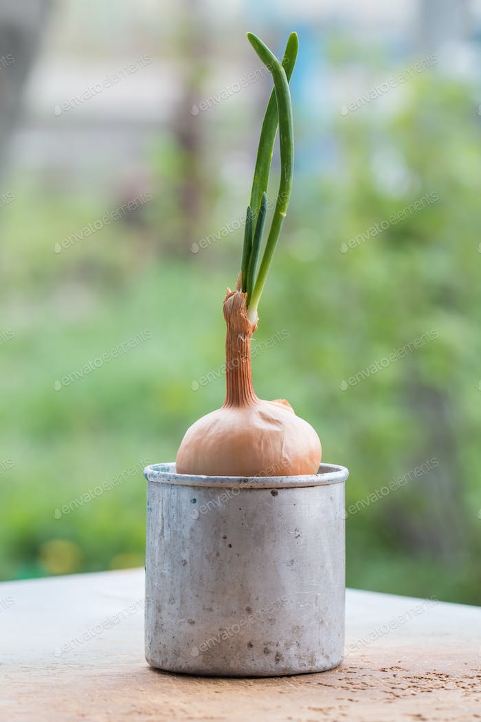 sprouted onions in metal cup
