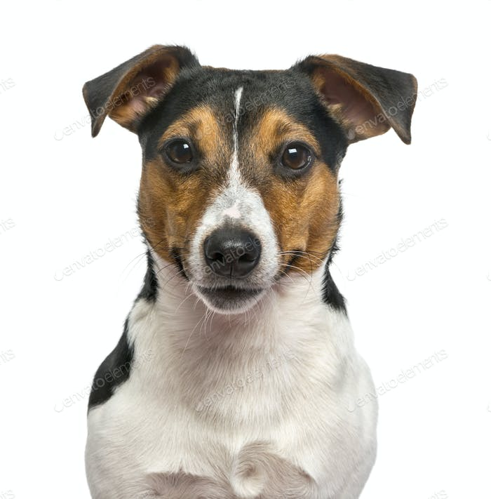 Thumbnail for Jack Russell Terrier isolated on white