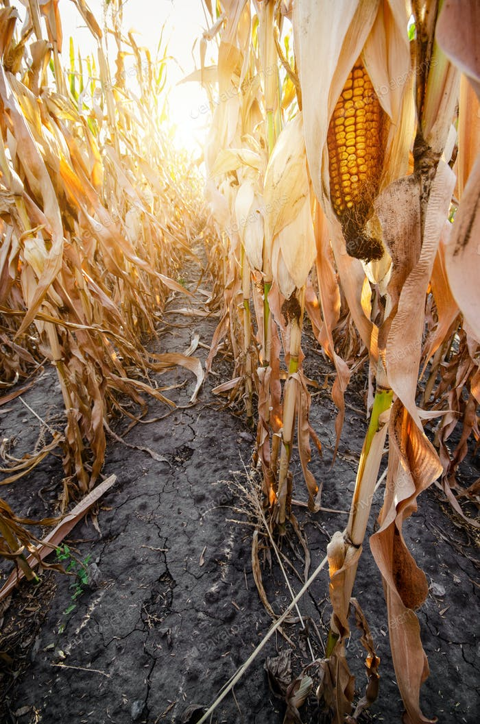 Maize corn field summer time under daylight closeup view at dry stalk