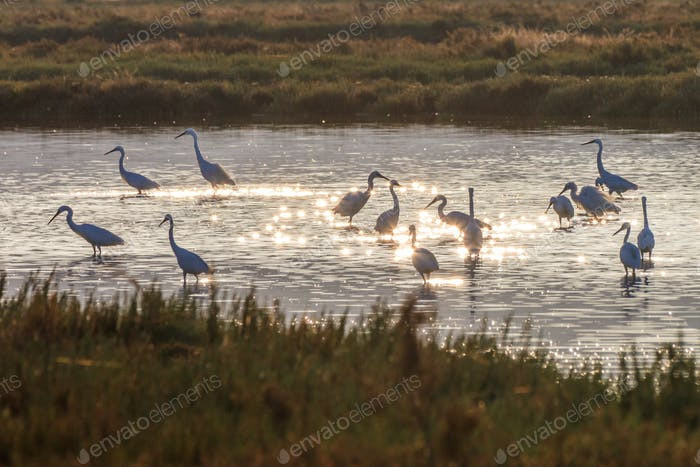 Little egrets (Egretta garzetta) in sunrise