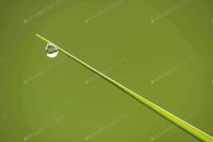 Straight blade of green grass with one water drop on tip
