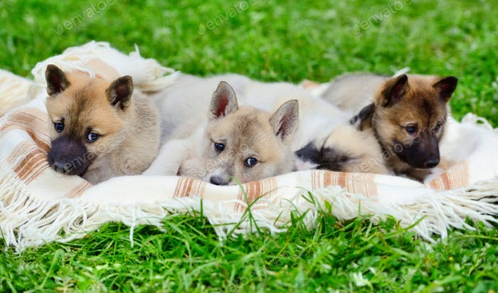 Cute Siberian Laika puppies on the blanket