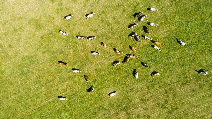 aerial view of cows in a herd on a green pasture