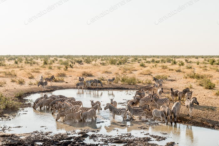 Herd of Burchells zebras drinking water