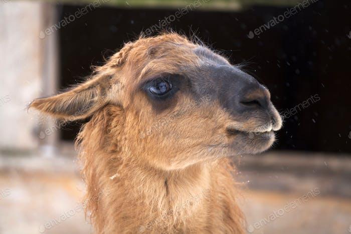 Nahaufnahme auf einem Lama
