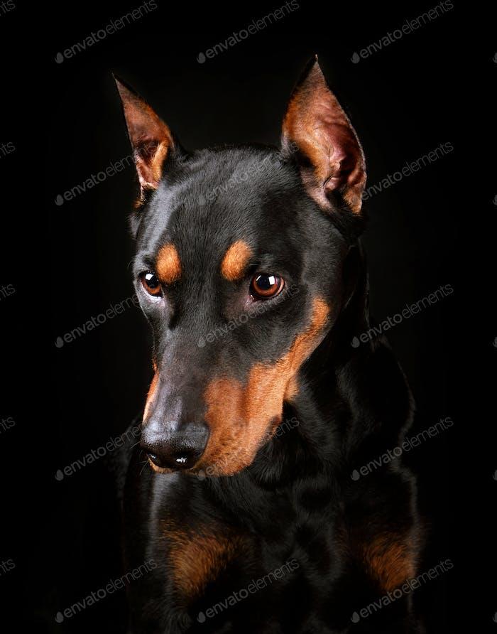 German Pinscher dog