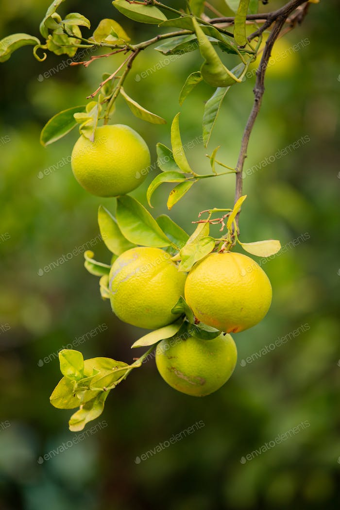 Close-Up Of Fresh Oranges hanging in tree