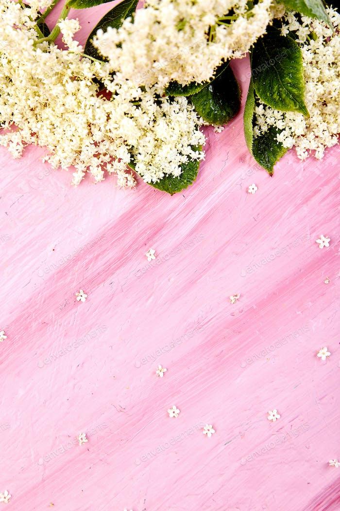 Flower of elder on pink background. Frame from elderflower.