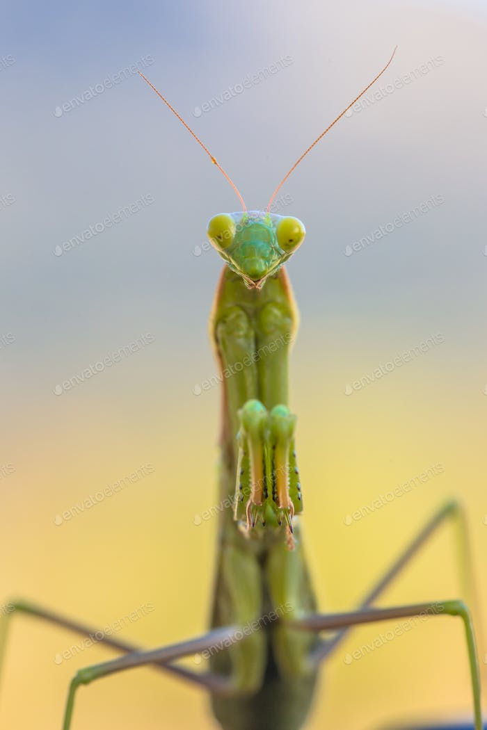 Praying Mantis frontal