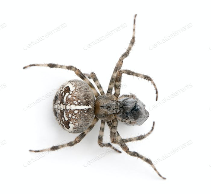 European garden spider, diadem spider, cross spider, or cross orbweaver, Araneus diadematus