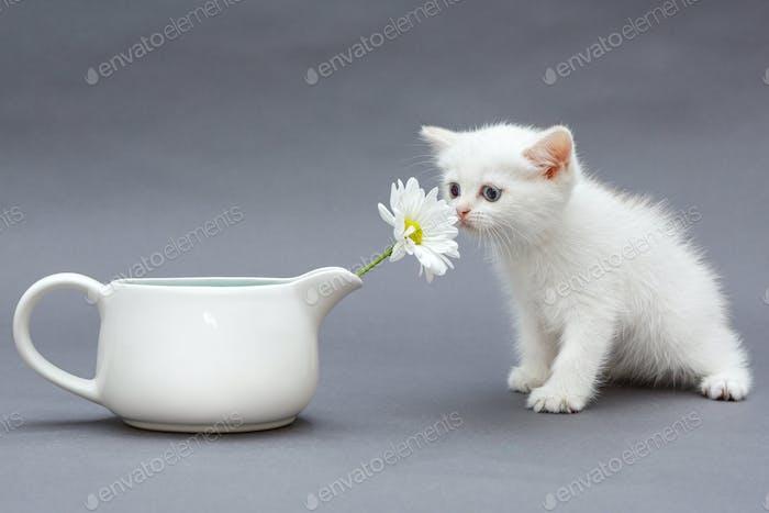 White British kitten and  daisies