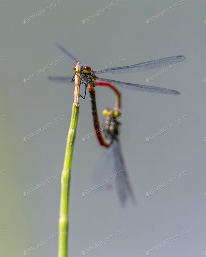 Couple of Large red damselfly copula