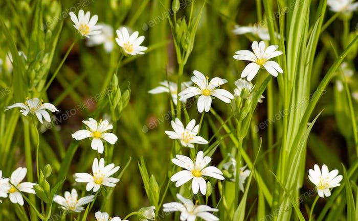 Nahaufnahme weiße kleine Wildblumen auf einem sonnigen warmen Frühling