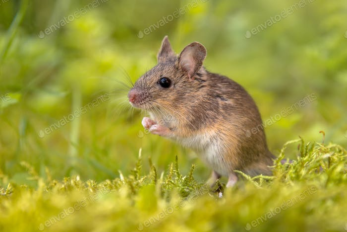 Standing Wood mouse in green surroundings