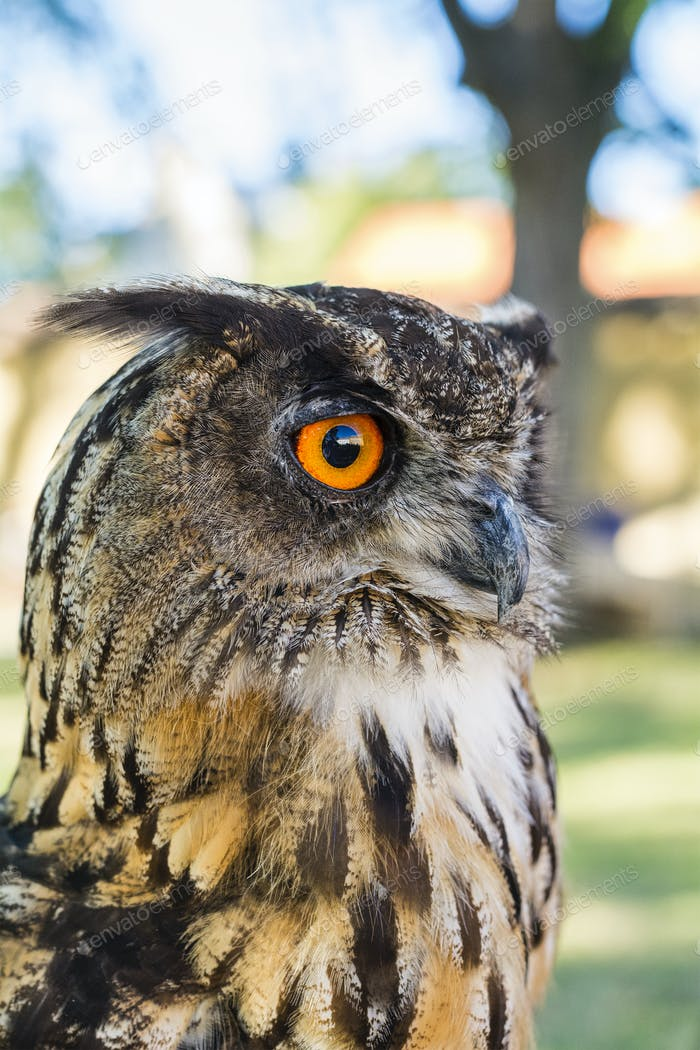 Portrait of Eagle owl (Bubo bubo)