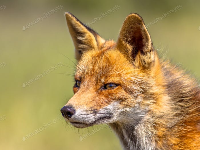 Red Fox portrait sideview