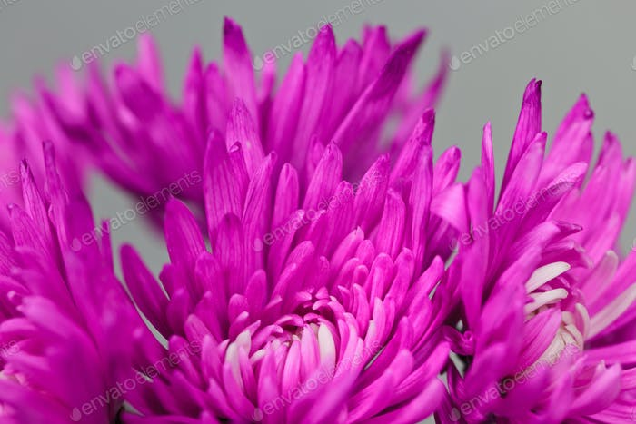 Chrysantheme Blumen