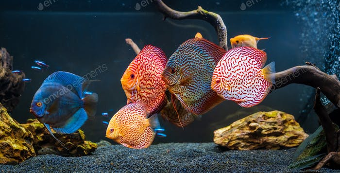 Colorful fish from the spieces Symphysodon discus in aquarium