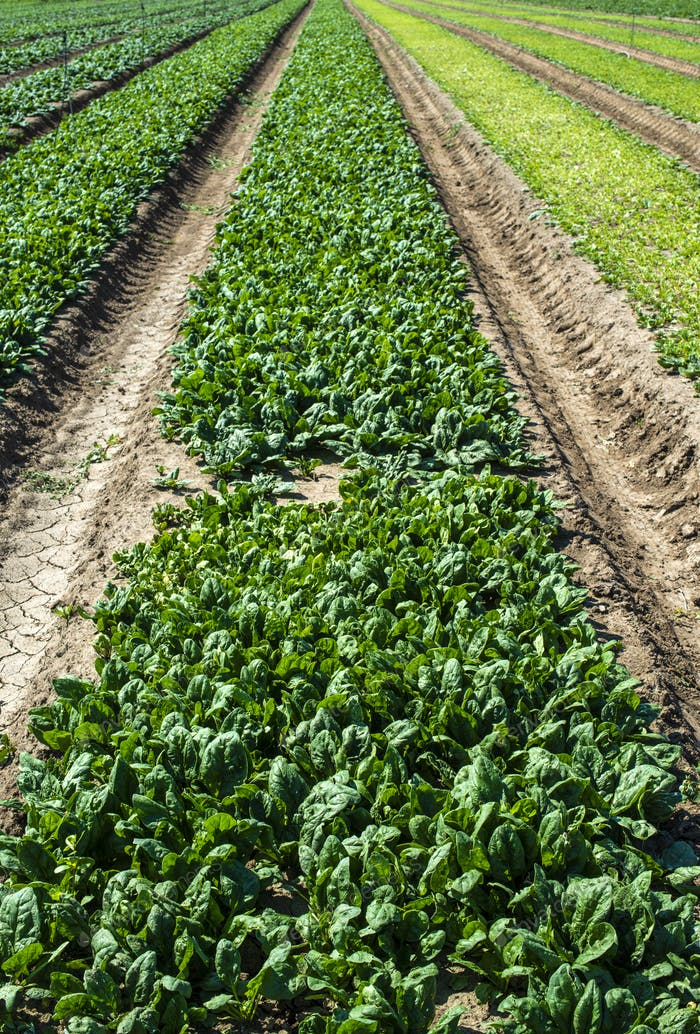 Spinach farm. Organic spinach leaves on the field.