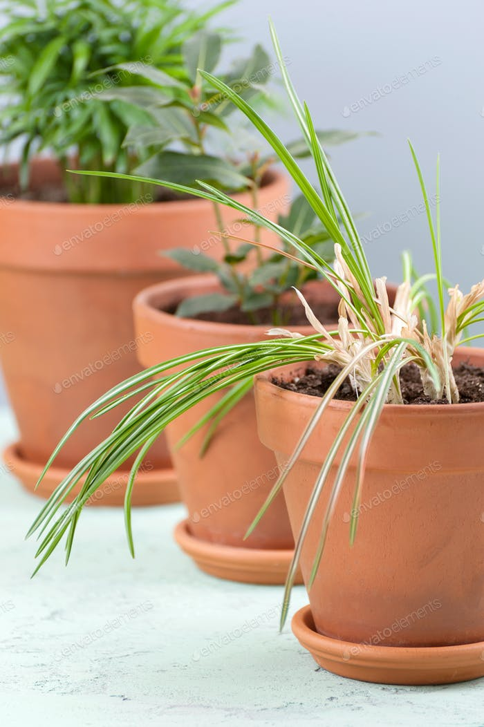 Three potted plants in clay pots.