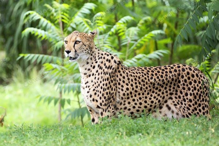 Gepard in einer Lichtung