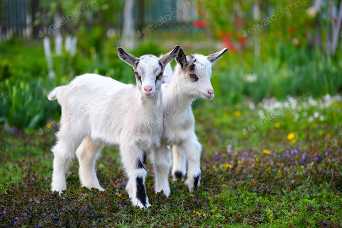 Two white baby goats standing on green lawn