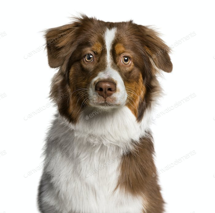 Headshot of a Australian Shepherd (7 months old)